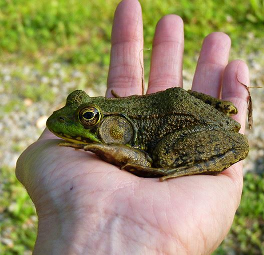 Frog in the palm of a persons hand